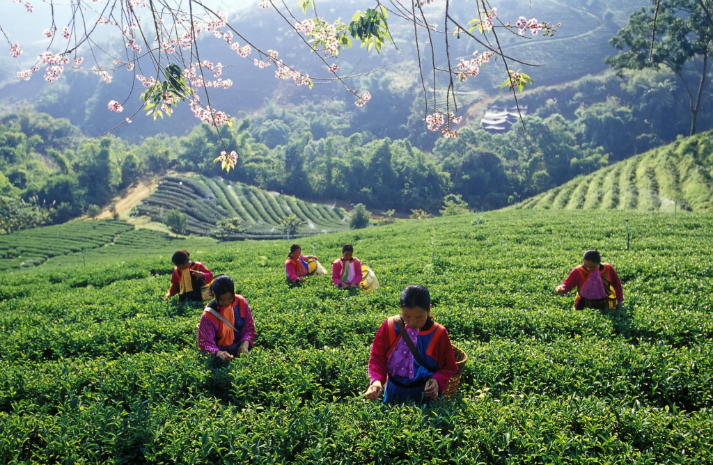 1-Tea Plantation Hilltribe Hmong-min